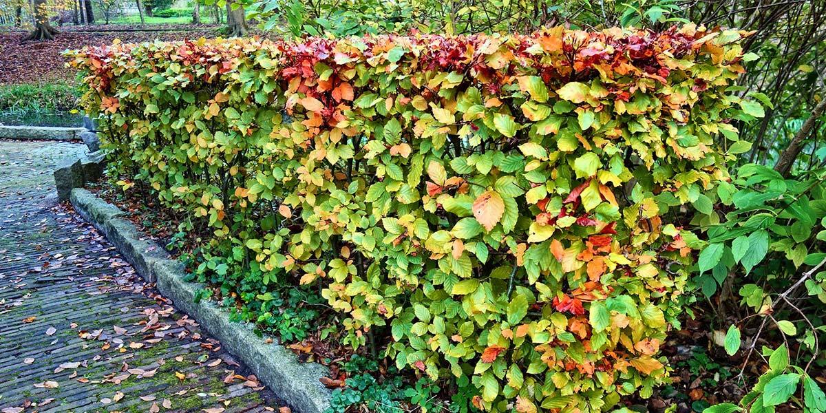 Hedge Trimming Melbourne Victoria